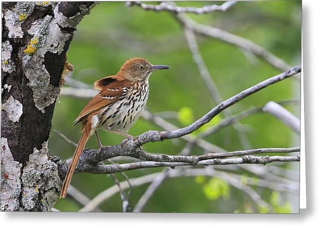 Brown Thrasher Greeting Card by Gary Hall