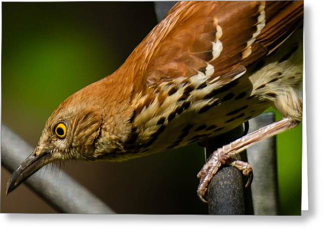 Brown Thrasher Greeting Card by Robert L Jackson