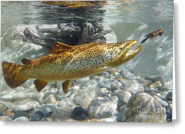Brown Trout Pursuing Crayfish Greeting Card by Paul Buggia