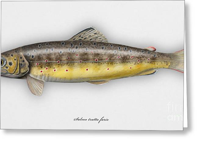 Brown Trout - Salmo Trutta Morpha Fario - Salmo Trutta Fario - Game Fish - Flyfishing Greeting Card