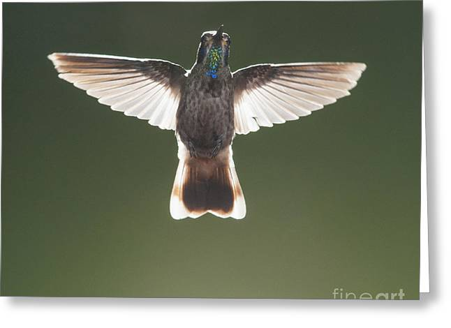 Brown Violet-ear Hummingbird Greeting Card by Dan Suzio