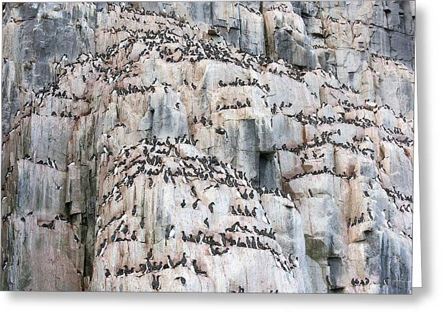 Brunnich's Guillemot Colony Greeting Card by Dr P. Marazzi