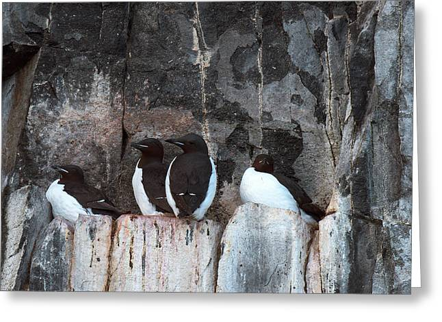 Brunnich's Guillemots Greeting Card by Dr P. Marazzi