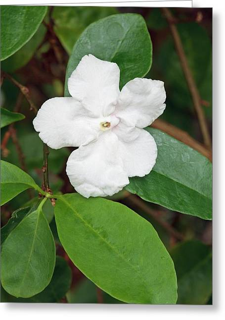 Brunsfeldia Pauciflora Greeting Card by Geoff Kidd