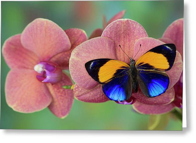 Brush-footed Butterfly, Callithea Greeting Card