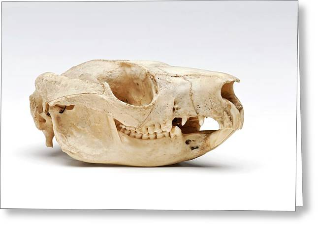 Brush-tailed Possum Skull Greeting Card by Ucl, Grant Museum Of Zoology