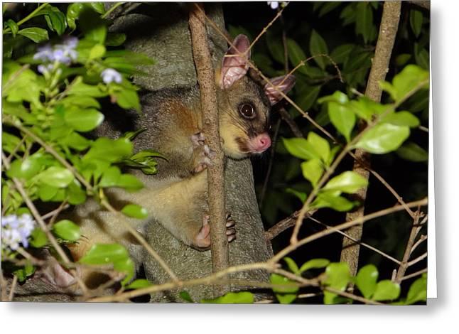 Brushtail Possum Greeting Card by Dani Katz