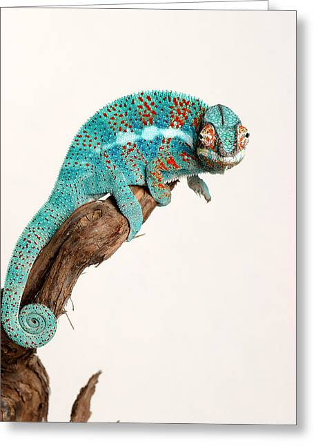 B.summers Panther Chameleon Greeting Card by Brian Summers