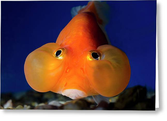 Bubble Eye Goldfish Greeting Card by Nigel Downer