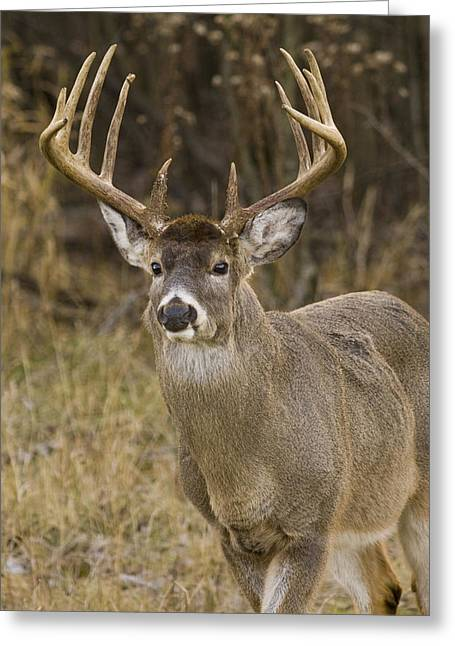 Buck Approaching Greeting Card