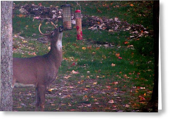 Buck Checking Out Birdseed Greeting Card by Lila Mattison