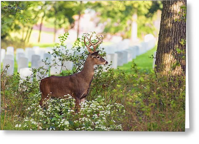 Buck In A Bush Greeting Card by Bill Tiepelman