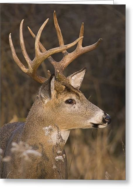 Buck Portrait Greeting Card
