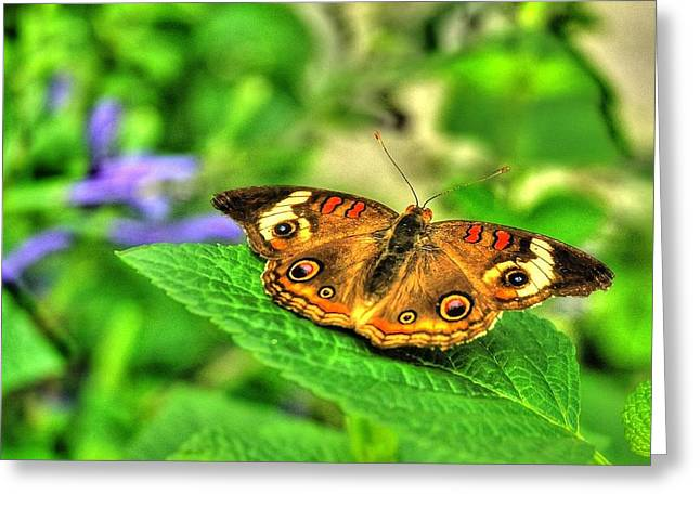 Buckeye Butterfly Greeting Card by Ed Roberts
