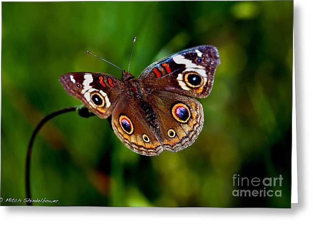 Greeting Card featuring the photograph Buckeye Butterfly by Mitch Shindelbower