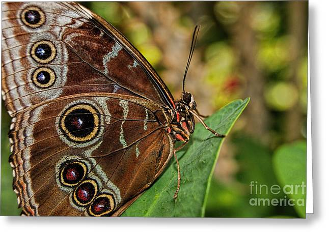 Greeting Card featuring the photograph Blue Morpho Butterfly by Olga Hamilton