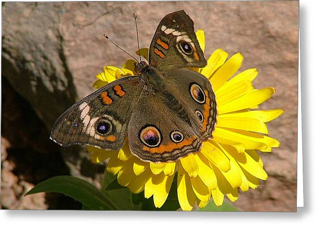 Buckeye Butterfly On Yellow Flower And Rock - 101 Greeting Card