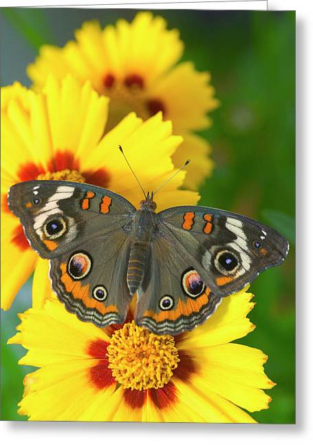 Buckeye Butterfly With Eyespots Greeting Card