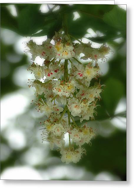 Greeting Card featuring the photograph Buckeye Tree Bloom by David Armstrong