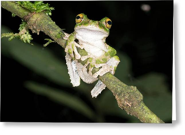 Buckley S Slender-legged Treefrog Greeting Card