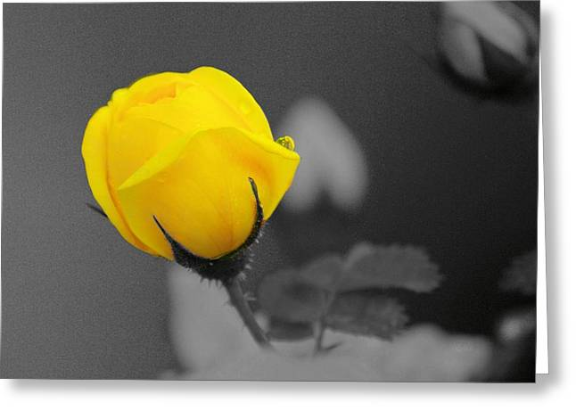 Bud - A Splash Of Yellow Greeting Card by John  Greaves
