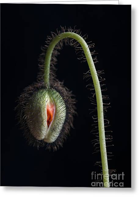 Budding Poppy Flower Greeting Card