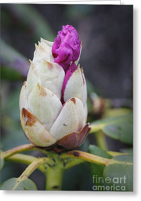 Budding Rhododendron Greeting Card by Jonathan Welch