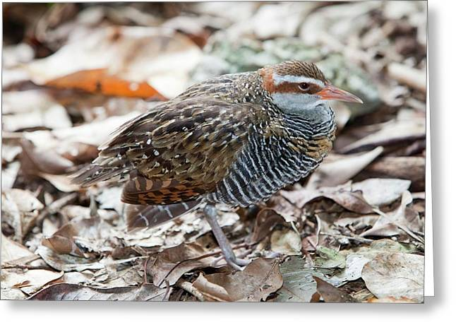 Buff Banded Rail Greeting Card by Ashley Cooper