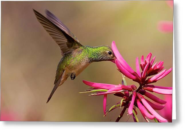 Buff-bellied Hummingbird (amazilia Greeting Card