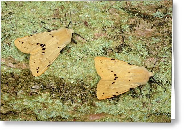 Buff Ermine Moths Greeting Card by Nigel Downer