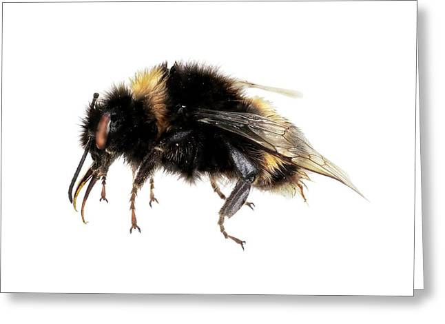 Buff-tailed Bumblebee Greeting Card by F. Martinez Clavel