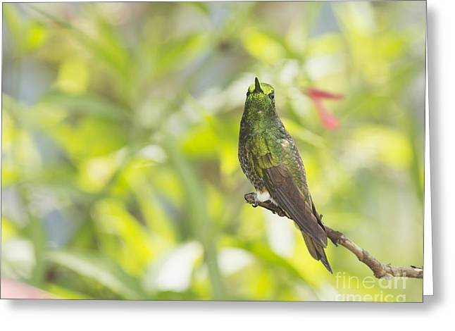 Buff-tailed Coronet Hummingbird Greeting Card by Dan Suzio