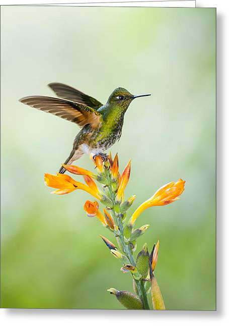Buff-tailed Coronet Hummingbird Greeting Card