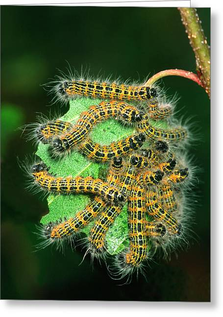 Buff-tip Moth Caterpillars Greeting Card by Nigel Downer