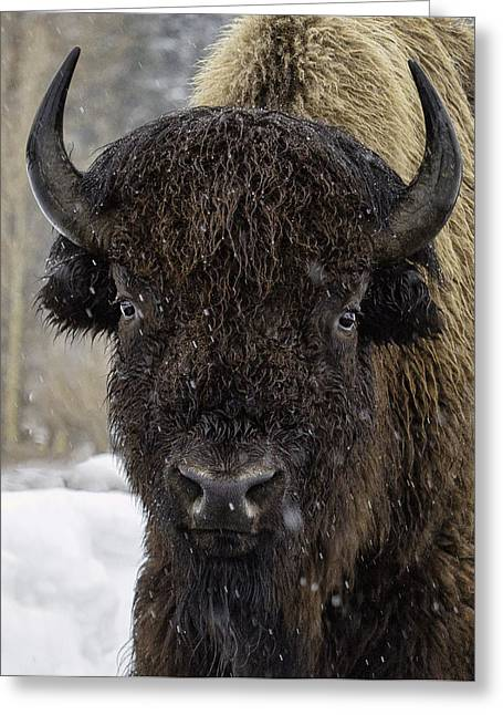 Buffalao In Snow Greeting Card