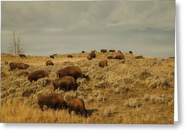 Buffalo On The Prairie Greeting Card by Jeff Swan