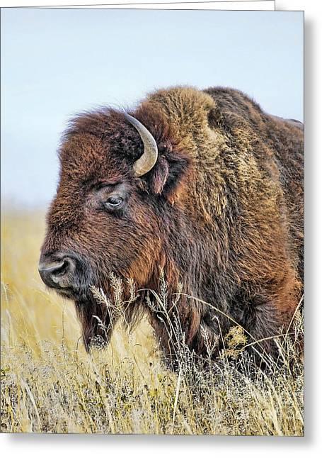 Buffalo Portrait Greeting Card by Dale Erickson