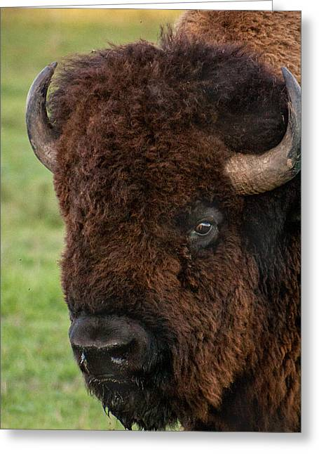 Buffalo Portrait Greeting Card