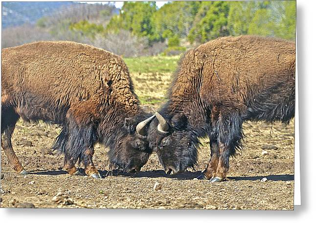 Buffaloes At Play Greeting Card