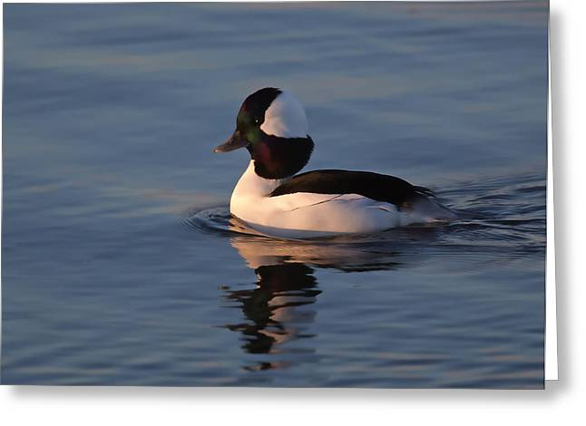 Bufflehead Duck Greeting Card