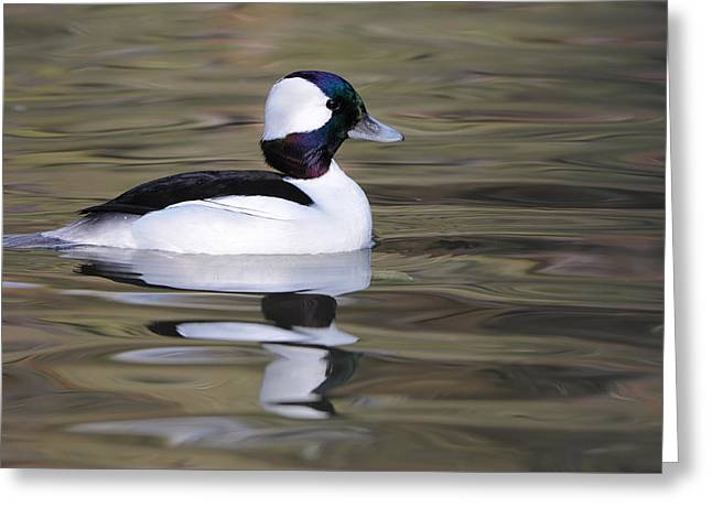 Greeting Card featuring the photograph Bufflehead by Tyson and Kathy Smith