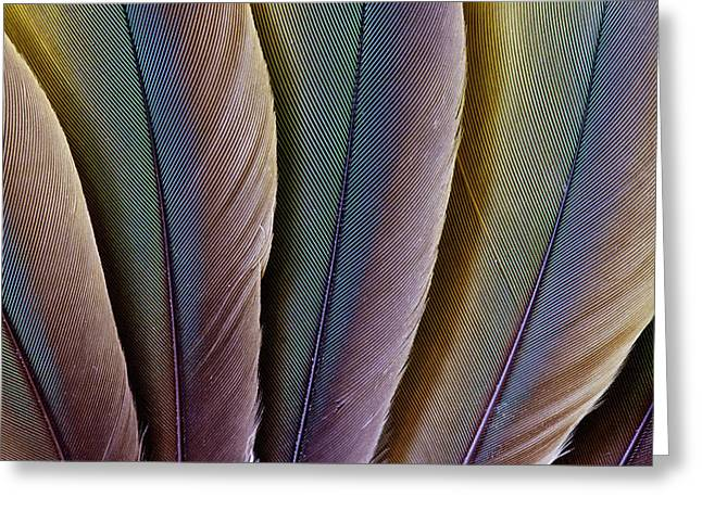 Buffon's Macaw Feather Design Greeting Card by Darrell Gulin