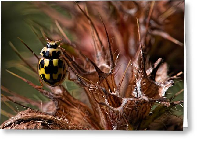 Bug In Thorns Greeting Card by Leif Sohlman