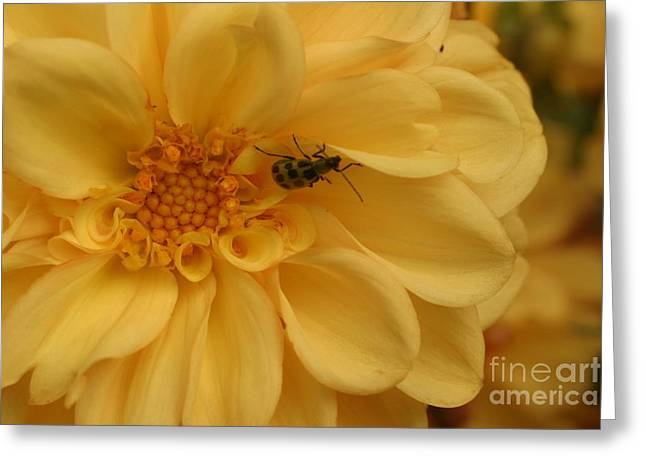 Bugged Dahlia Greeting Card