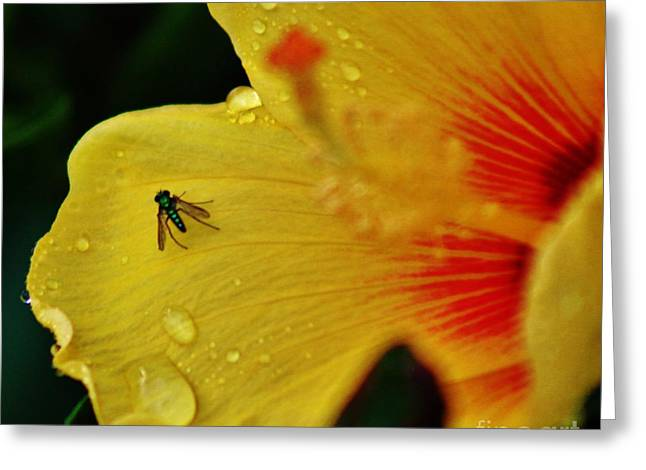Bugged Hibiscus Greeting Card by Craig Wood