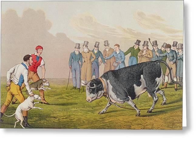 Bull Baiting Greeting Card