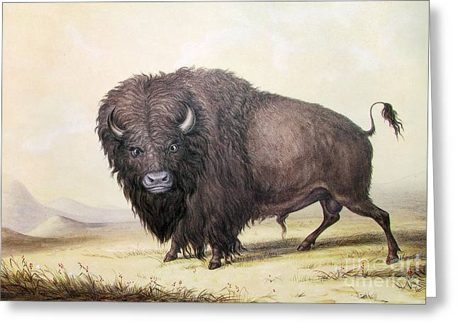 Bull Buffalo Greeting Card by Celestial Images