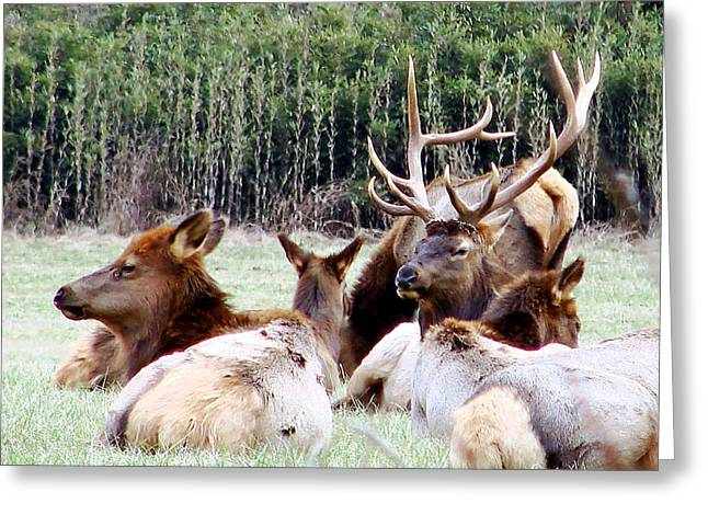 Bull Elk And His Girls 2 Greeting Card