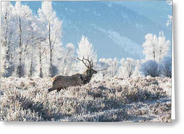 Greeting Card featuring the photograph Bull Elk At Winter Dawn by Yeates Photography
