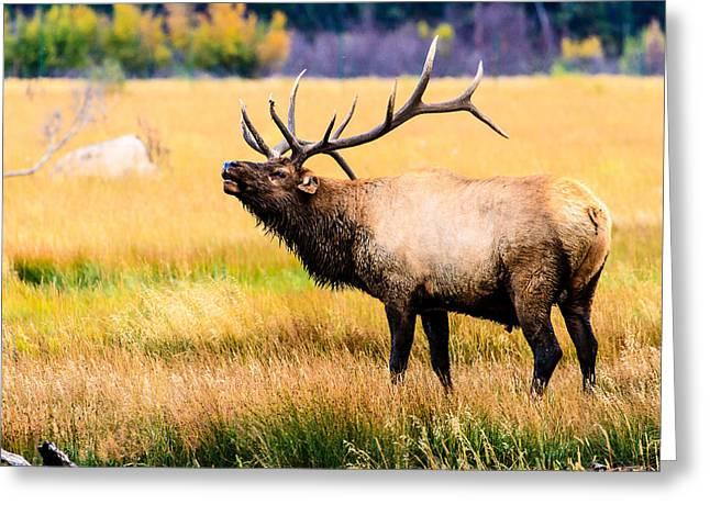 Bull Elk - Colorado Greeting Card
